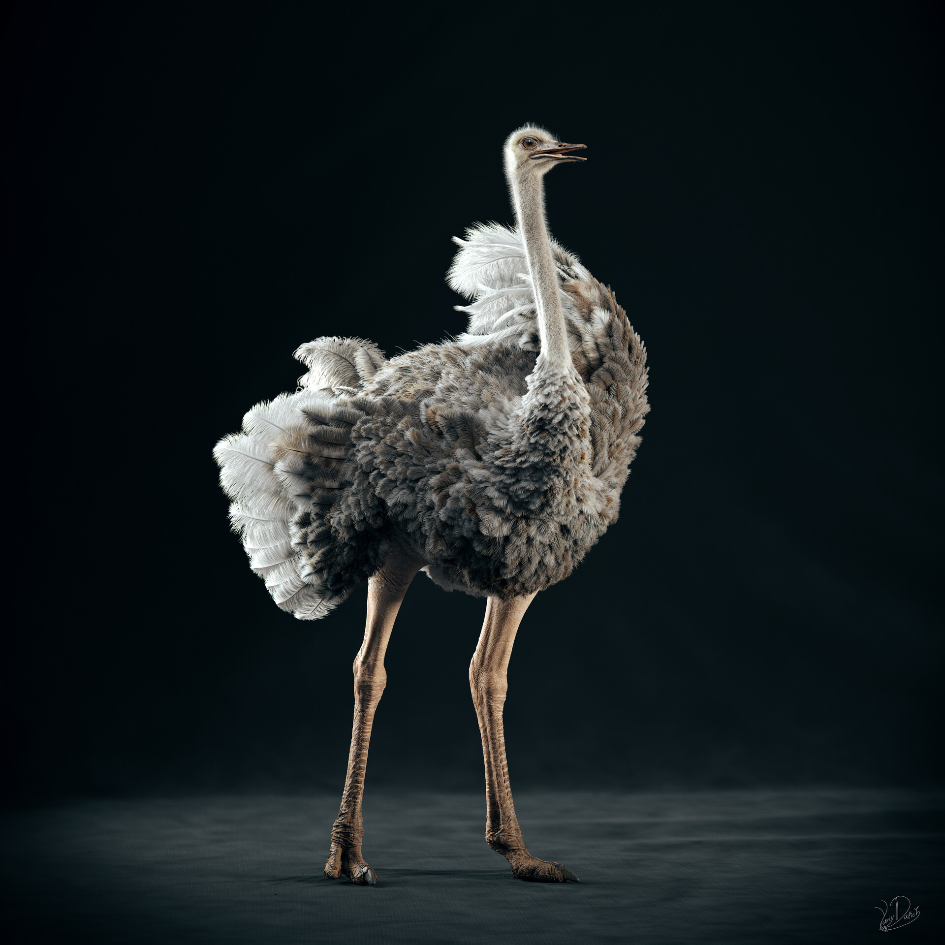 Somali Ostrich (female)